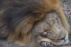 一头大睡觉狮子的美丽的画象在南非 免版税库存照片