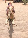 一头大美丽的米黄强的庄严骆驼,一个异乎寻常的训练的动物坐与明亮的红色被编织的手工海角  库存照片