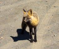 一头大胆的土狼乞求为食物在休息中止在北加拿大 免版税库存照片