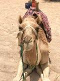 一头大英俊的米黄强的庄严骆驼,与织品光辔的一个异乎寻常的训练的动物在它的枪口坐热的黄色 免版税库存图片
