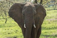 一头大象的特写镜头在树中的 库存照片