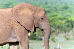 一头大象的特写镜头在Addo国家公园 免版税库存照片