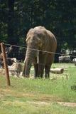 一头大象 库存照片
