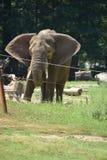 一头大象 库存图片