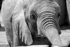 一头大象 免版税库存图片