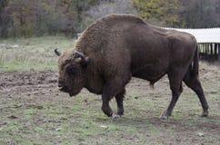 一头大量野牛公牛 免版税库存照片