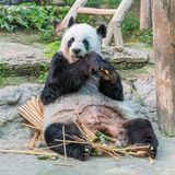 一头女性大熊猫熊享用她的早餐 免版税库存照片