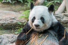 一头女性大熊猫熊享用她的早餐 免版税库存图片