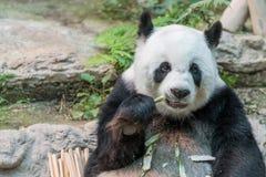 一头女性大熊猫熊享用她的早餐 图库摄影