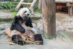 一头女性大熊猫熊享用她的早餐 库存图片