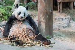 一头女性大熊猫熊享用她的早餐 库存照片