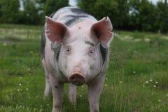 一头家养的猪的头在牧场地的 图库摄影