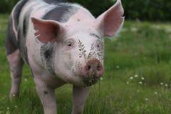 一头家养的猪的极端特写镜头与野花的 库存照片