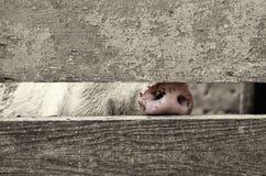 一头家养的猪的鼻子在畜栏之间的上 免版税库存图片