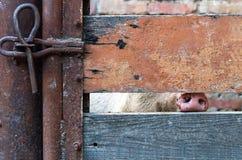 一头家养的猪的鼻子 免版税图库摄影