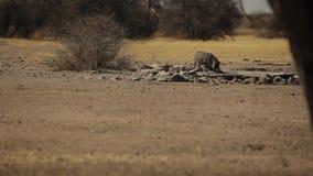 一头小公猪在大草原中间喝水 影视素材