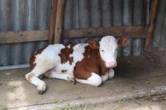 一头小小牛在摊位 公牛小牛 宝贝小牛休息 库存图片