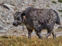 一头小小牛是高地西藏牦牛, 2-3个月,喜马拉雅山的夏天牧场地 库存图片