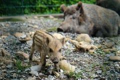 一头小的公猪和她的妈咪 免版税库存照片