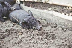 一头小的黑猪在地面上说谎在猪圈 免版税库存照片