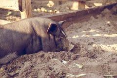 一头小的黑猪在地面上说谎在猪圈 库存照片