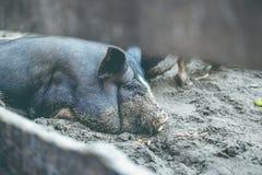 一头小的黑猪在地面上说谎在猪圈 免版税库存图片