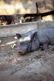 一头小的黑猪在地面上说谎在猪圈 图库摄影