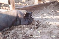 一头小的黑猪在地面上说谎在猪圈 免版税图库摄影