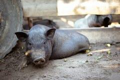 一头小的黑猪在地面上说谎 库存图片
