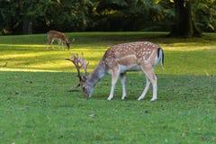 一头小鹿在一个绿色草甸吃草 库存图片