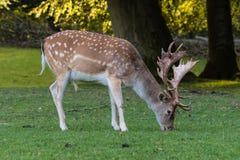 一头小鹿在一个绿色草甸吃草 免版税库存图片