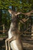 一头小鹿,黄鹿黄鹿,站立在后腿,当eatin时 免版税库存照片