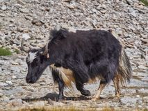 一头巨大的成人西藏牦牛:一件长的厚实的黑外套、白色腹部和枪口,巨大的垫铁,动物通过牧场地运行 库存图片