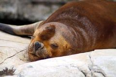 一头巴塔哥尼亚人的海狮的画象 库存照片