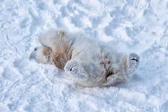 一头年轻北极熊充当雪 免版税图库摄影