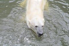 一头年轻北极熊在水中游泳 库存照片