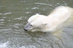 一头年轻北极熊在水中游泳 库存图片