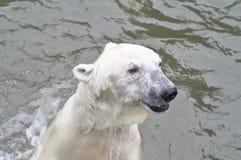 一头年轻北极熊在水中游泳 免版税库存照片