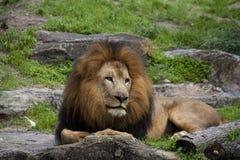 一头幼小公狮子保留手表 免版税库存照片