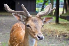 一头幼小国王` s鹿,在动物园的deere的头与鹿角的 免版税库存图片