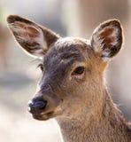 一头幼小母鹿的画象 图库摄影