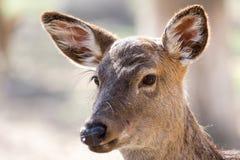 一头幼小母鹿的画象 库存图片