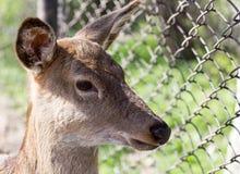 一头幼小母鹿的画象 免版税图库摄影
