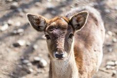 一头幼小母鹿的画象 免版税库存照片