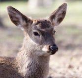 一头幼小母鹿的画象 库存照片