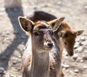 一头幼小母鹿的画象 免版税库存图片
