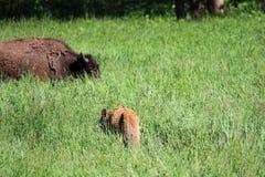 一头幼小水牛小牛在高草吃草 免版税库存图片