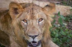 一头幼小狮子的强烈的眼睛在Bannerghatta国立公园 免版税库存图片