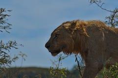一头幼小狮子的画象照片在南非 免版税图库摄影