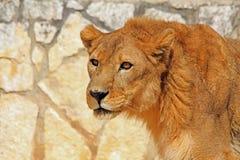 一头幼小狮子的纵向 库存图片
